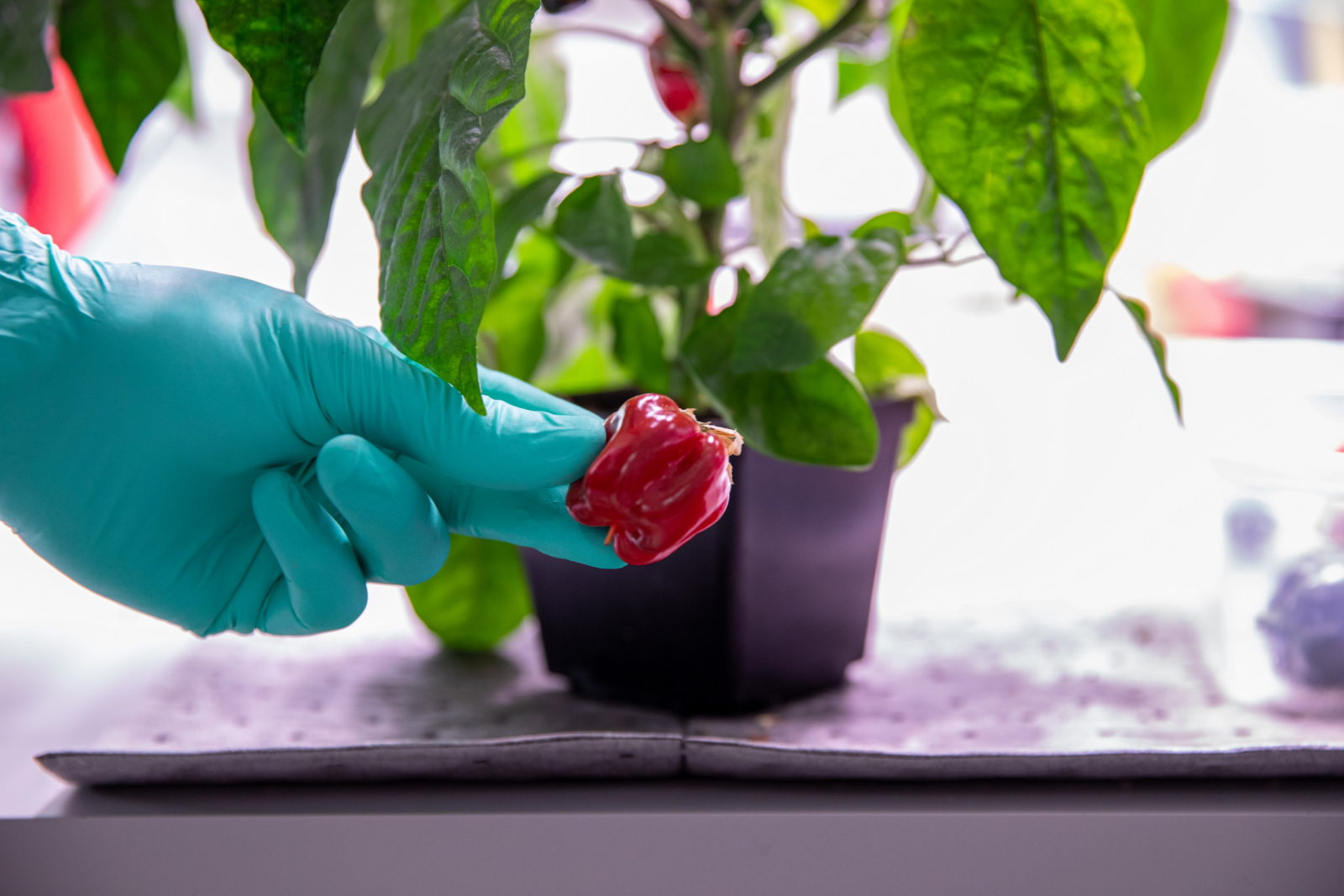 nasa-astronauts-are-growing-chili-peppers-in-space-now